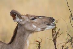 Kudu σίτισης στοκ εικόνα με δικαίωμα ελεύθερης χρήσης