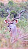 Kudu στον αφρικανικό θάμνο Στοκ Εικόνα