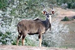 kudu ταύρων αντιλοπών στοκ φωτογραφία με δικαίωμα ελεύθερης χρήσης
