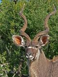 kudu ταύρων στοκ φωτογραφία
