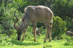 kudu ταύρων στοκ εικόνα