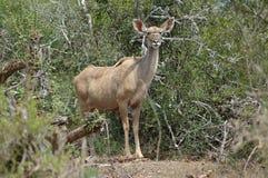 kudu антилопы Стоковая Фотография RF