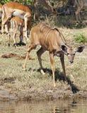 kudu антилопы стоковые фото