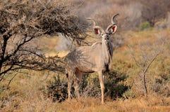 kudu быка большое Стоковое Изображение RF