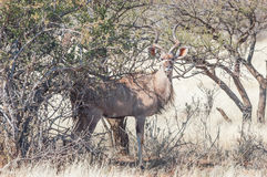 kudu быка большое Стоковые Фото