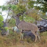 kudu быка Стоковая Фотография RF