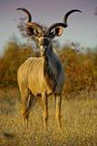 kudu вечера Стоковое Фото