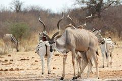 Kudu выпивая от waterhole Стоковые Изображения