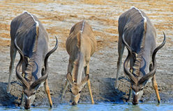 3 Kudu выпивая от waterhole Стоковые Фотографии RF