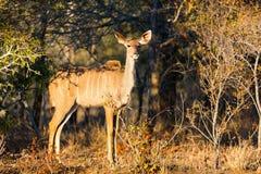 Kudu в Южной Африке Стоковые Фотографии RF