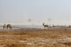 Kudu, импала и Springbuck на пылевоздушном waterhole Стоковая Фотография RF