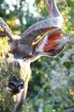 kudu смотрря прищурясь Стоковое Фото
