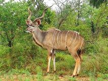 Kudu Fotografie Stock