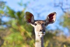 Kudu Photographie stock