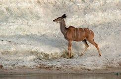Kudu Immagini Stock