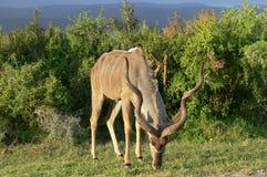 kudu Fotografia Royalty Free