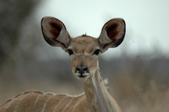 kudu στοκ εικόνα