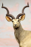 Kudu. Male Kudu Front Facing Portrait Stock Photo