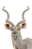Kudu. In chiang mai night safari Stock Photography