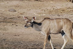 Kudu Stock Image