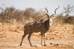 kudu Obrazy Stock