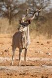 kudu Στοκ Εικόνες