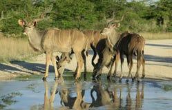 kudu Arkivfoton