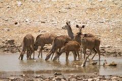 Free Kudu Stock Photography - 18388992