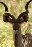 Kudu Photos stock