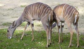 kudu 2 mindre Fotografering för Bildbyråer