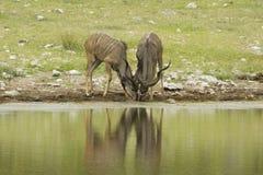 kudu Стоковое Изображение RF