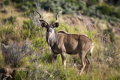 Kudu. A full length view of a Kudu, Addo Elephant National Park Stock Photos