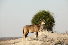 Kudu. Ewe alert for danger royalty free stock image