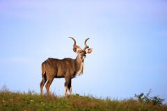 Kudu. A full length view of a Kudu, Addo Elephant National Park Royalty Free Stock Images