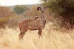 Kudu Photographie stock libre de droits