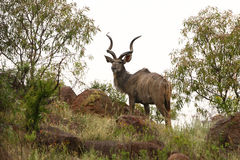 Kudu Photo stock