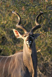 Kudu. Drinking at water hole in Africa Royalty Free Stock Images