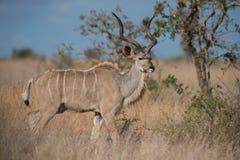 Kudu Zdjęcie Stock