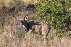 Kudu imagenes de archivo