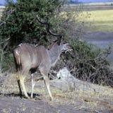 Kudu Стоковое фото RF
