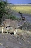 Kudu Стоковые Изображения