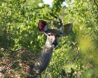 Kudu Стоковая Фотография