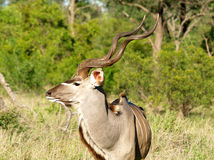 Kudu stockfotos