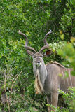 Kudu royalty-vrije stock afbeeldingen