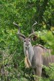 kudu royaltyfria bilder