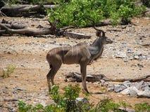 Kudu Foto de Stock Royalty Free
