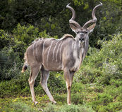 Kudu Zdjęcie Royalty Free