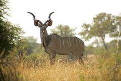 Free Kudu Royalty Free Stock Photos - 4735218