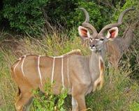 Kudu Fotografia de Stock Royalty Free