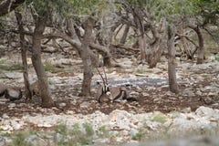 Kudu Royaltyfria Foton